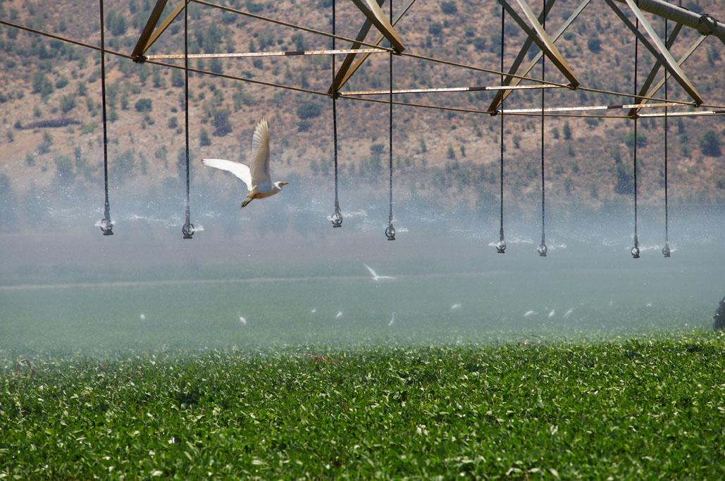 Консолидированная орошения полей.  Стая перелетных птиц в полевых условиях.