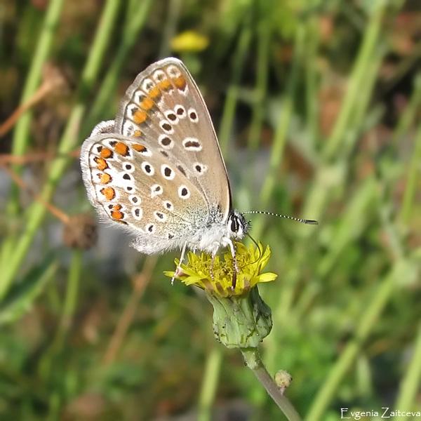 "Lycaenidae - Голубянки Бабочка голубянка  ""Женечка "" ."